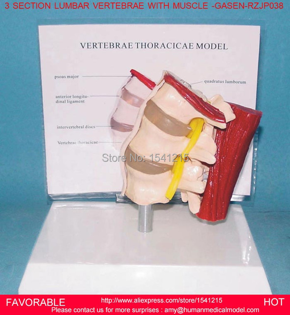Thoracic Spinal Cordmodel Of The Thoracic Vertebrathoracic Human