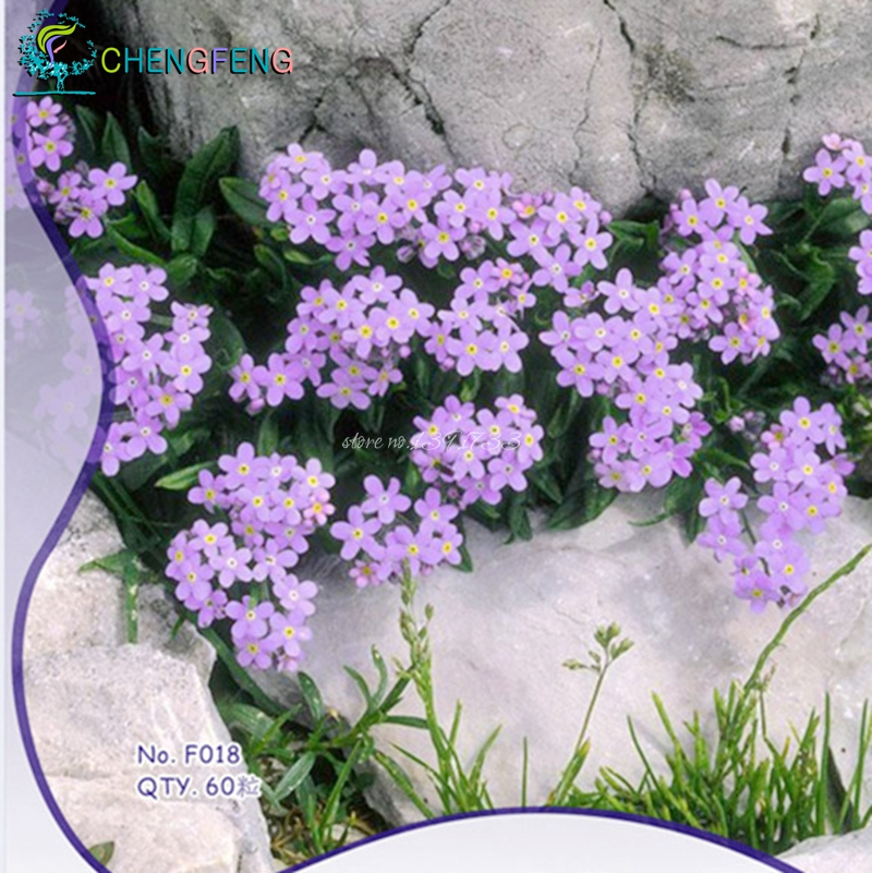 I want to alpine forget-flower seeds germinated grass s