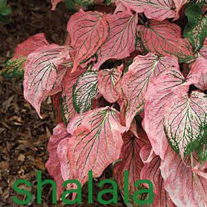 50 قطعة/الحزمة النباتات caladiams ، متعدد الألوان بوعاء النباتات حماية الجذر caladiams بونساي ، عشب النباتات لحديقة المنزل