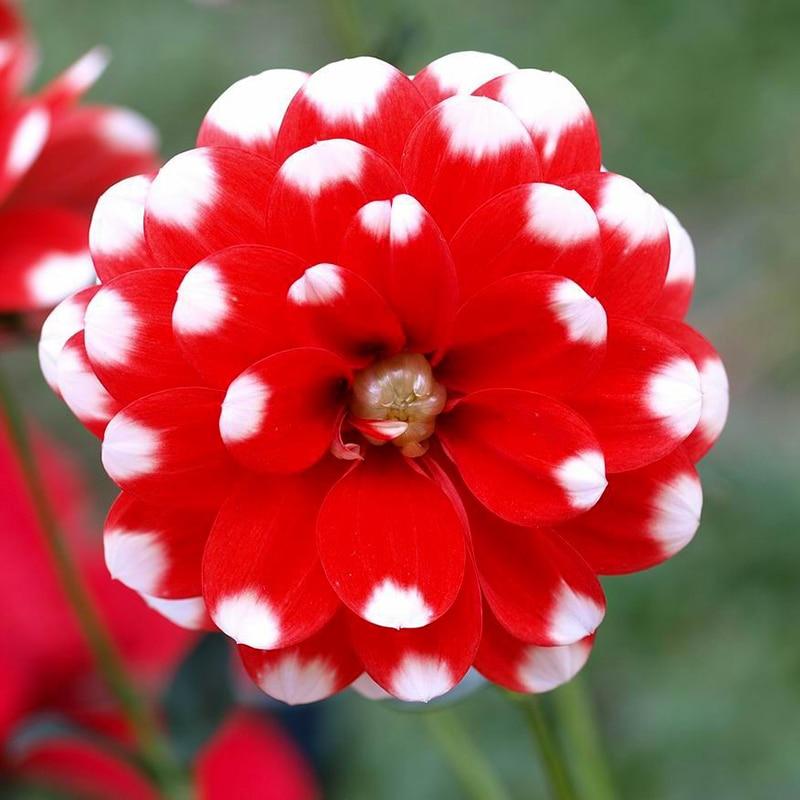 100 pcs Rare Red Dahlia Seeds Perennial Flower Seeds Bo