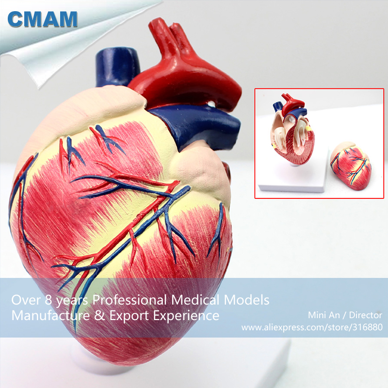 12008 CMAM-A06 Veterinarian's Dog Canine Heart Anatomy Model, Medical Science Educational Teaching Anatomical Models animal skeleton anatomy model veterinary medical teaching aids pet dog anatomical large dog skull model gasencx 0074