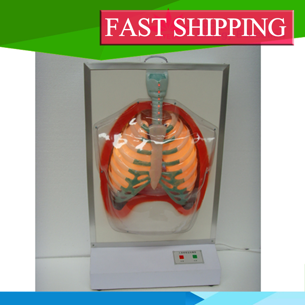 Excellent service Anatomy biological Electric human respiratory system model roxette roxette room service