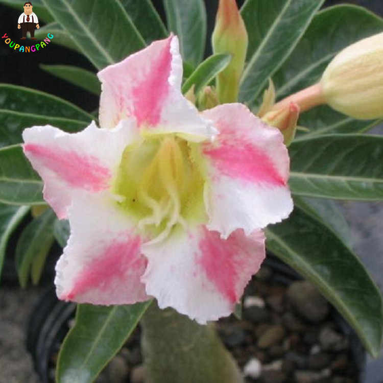 1 Pcs Exotic Desert Rose Plants Pink And White Potted Flowers Adenium Obesum Rosa