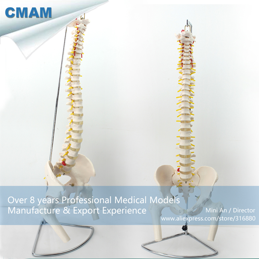 12383 CMAM-SPINE11 Human Vertebral Column w/ Half Femur Highly Detailed Model, Medical Science Educational Anatomical Models 12384 cmam vertebra01 human lumbar vertebrae w sacrum