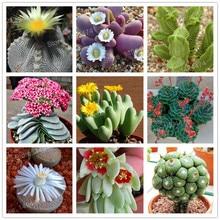 Buy  catella seeds Bonsai plant for home garden  online