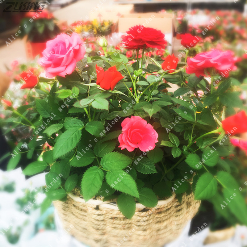 zlking unids mini rosa semillas color de rosa un poco lindo plantas bonsai en miniatura