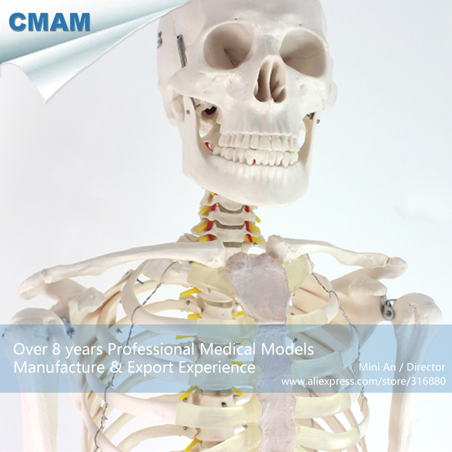 12361 CMAM-SKELETON01 Life Size Human Skeleton Model Medical Stand Joint , Medical Science Educational Anatomical Models 12363 cmam skeleton03 life size professional medical skeleton with muscles and ligaments 170cm skeleton model