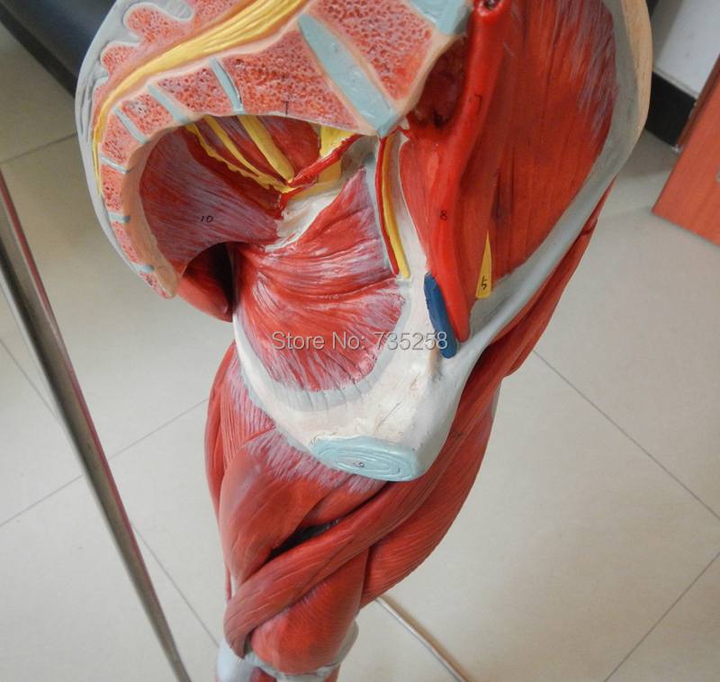 Muscles of Leg with Main Vessels and Nerves,Leg Limb Muscle Anatomy ...