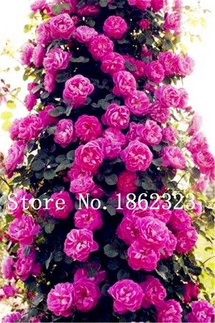5 pz Heirloom Arrampicata Fiore di Peonia Albero Della Tailandia Pianta Bonsai I
