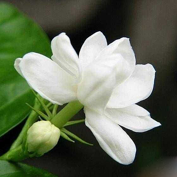 achetez en gros fleurs de jasmin fraîches en ligne à des