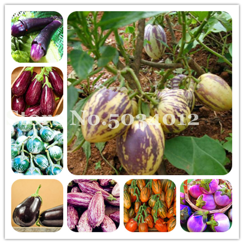 100 Pcs Egg Eggplant Bonsais About Selling Delicious Organic And Non GMO Fruit Vegetable Plants For Home Garden