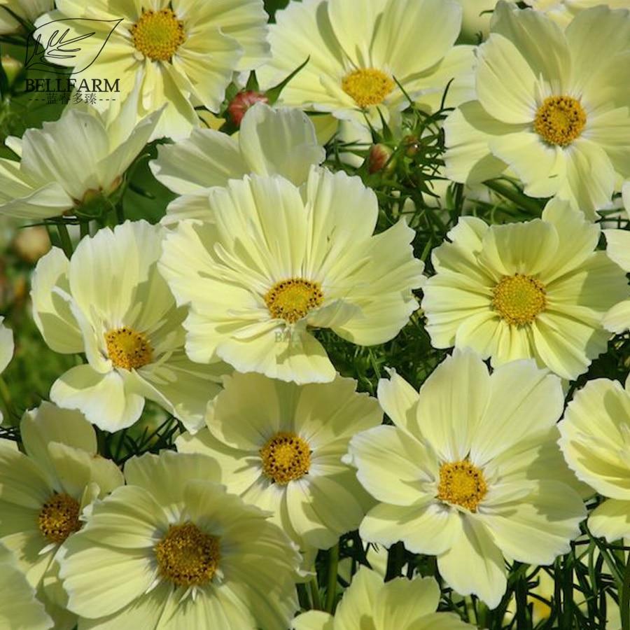 Bellfarm Bonsai Cosmos Xanthos Whitish Yellow Annual Flowers