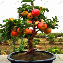 30 pcs Dwarf Apple Seeds,Sweet organic fruit vegetable seeds,Bonsai tree seeds for garden plants(China)