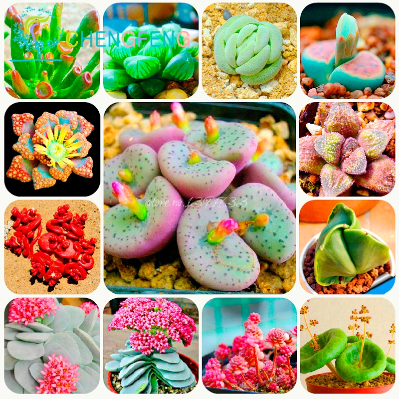 300 bag Mix Succulent seeds lotus Lithops Pseudotruncatella font b Bonsai b font plants Seeds for