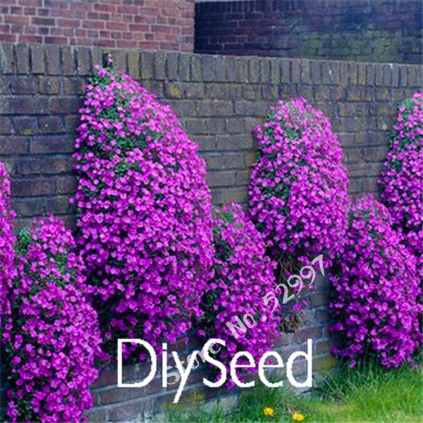 100 pieces pack rock cress aubrieta cascade purple flower for Purple flower ground cover perennial