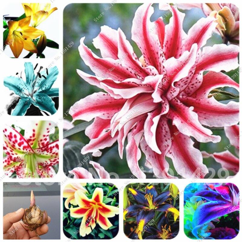 2 Bulbs 24 Colors Lily Flower Bulbs Holland Perfume Lil