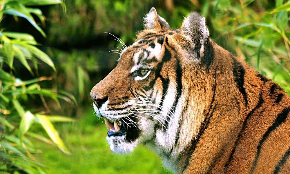 ⃝2015 diamantes Bordado nieve Tiger 3D DIY mazayka animal patrón ...