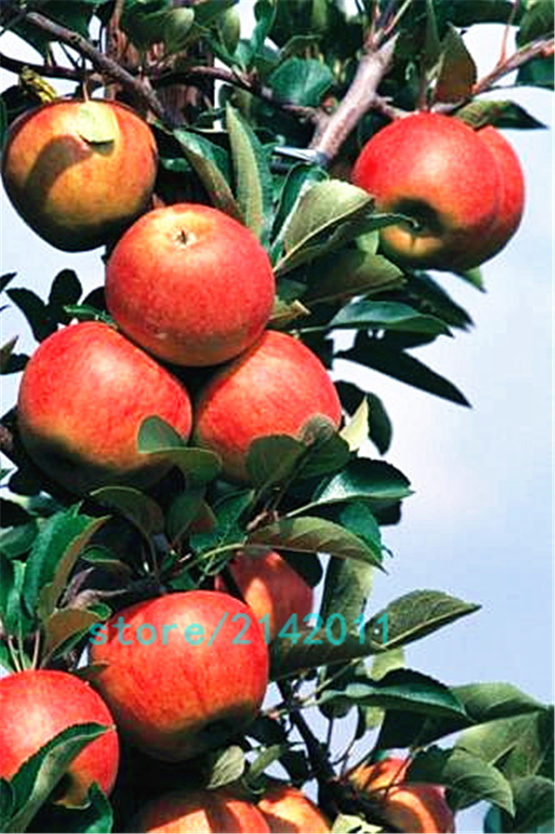 aliexpress com buy 30pcs bag dwarf apple seeds miniature apple