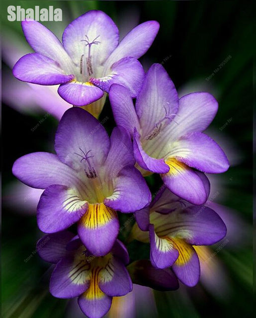 Online Shop 100pcs Lovely Freesia Flowers Seeds, Indoor Pot Flowers ...