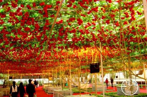 New Fresh 50 Pcs/Lot ITALIAN TREE TOMATO Bonsai 'Trip L Crop' Plants *Comb S/H Free Shipping,#WQ0G4D