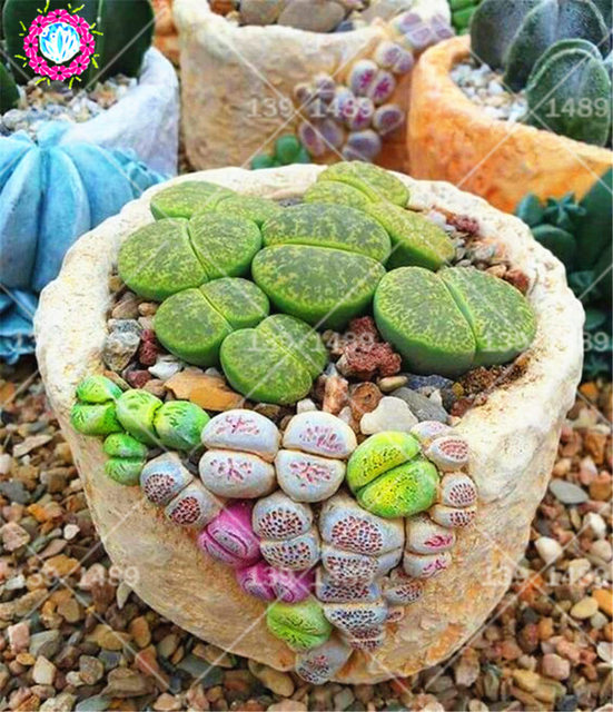 Rare Climbing Succulent Seeds Real Lithops Flower Spring Farm Living Stone Bonsai Plants Supplies Best Packaging 200pcs