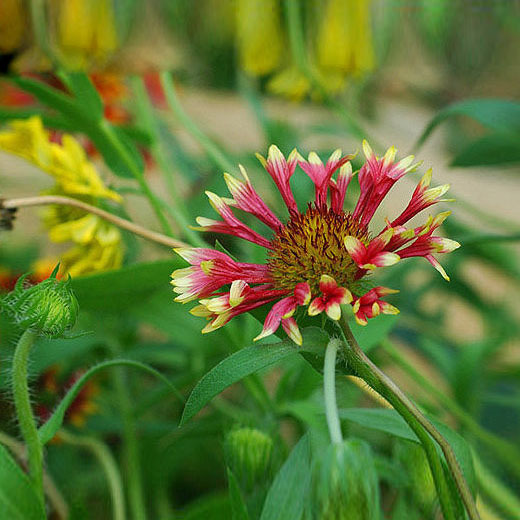 Hot Selling Rare Red Cornflower Seeds Balcony Patio Garden Flowers Potted Bonsai Plant Seeds Centaurea Flowers Seeds 120PCS