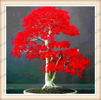 100pcs/bag japanese red maple tree seeds Bonsai tree se