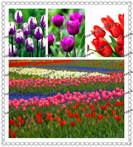 200pcs true tulip seeds ,flower Variety Fresh Bulbous Root Flower Corms Planted,for home garden