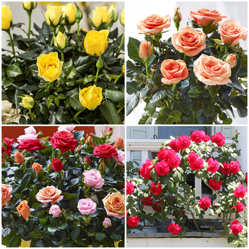 100 pcs/bag mixed black rose seeds beautiful flower binsai Chinese Flower Seed DIY for home garden