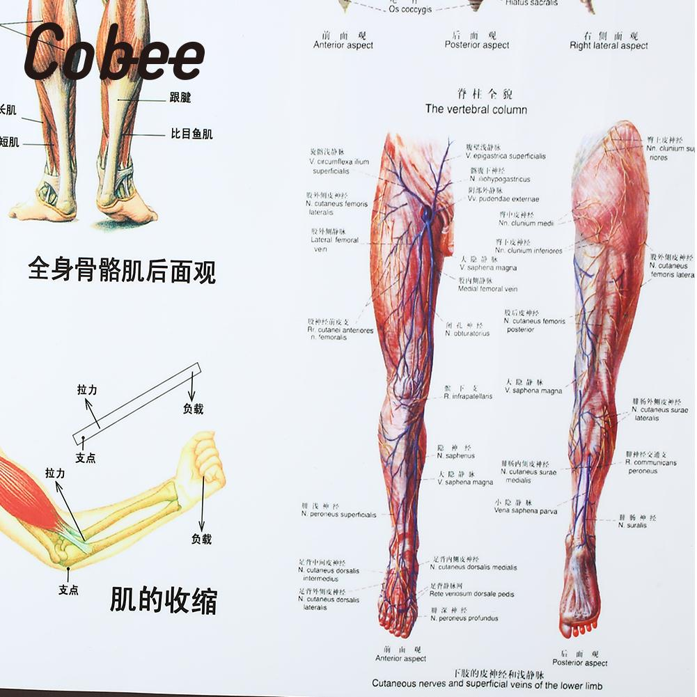 Muscle System Posters Anatomy Muscles Poster Muscle System Chart