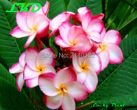 Plumeria Plants Rooted 7 15 Inch Frangipani Flower Cymbidium Bonsai Plumeria Rubra Plants No120 Kasamdelight 1