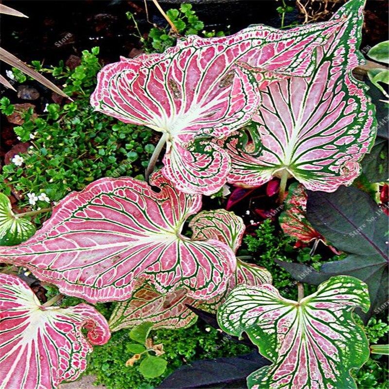 Free shipping 50 pcs hot sale japanese caladium bicolor - Plantas resistentes al sol ...