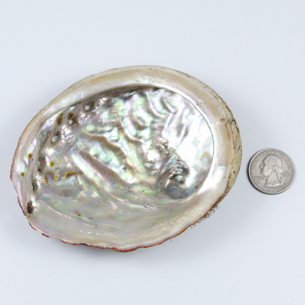 Natural Abalone Shells Office Decoration Home Aquarium Landscape Sundries Storage Box DIY Decor Soap Holder 115MM