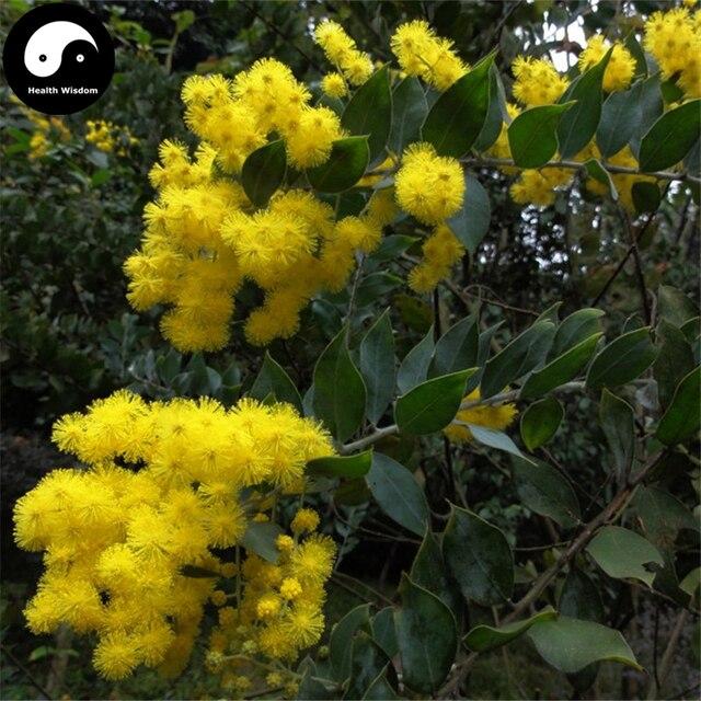 Buy Sweet Acacia Tree Semente 30pcs Plant Acacia Farnesiana Sponge