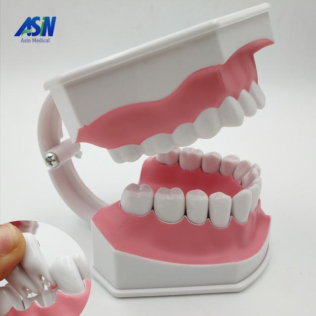 2016 new arrival modelo dental dente dentes modelo de ensino médico