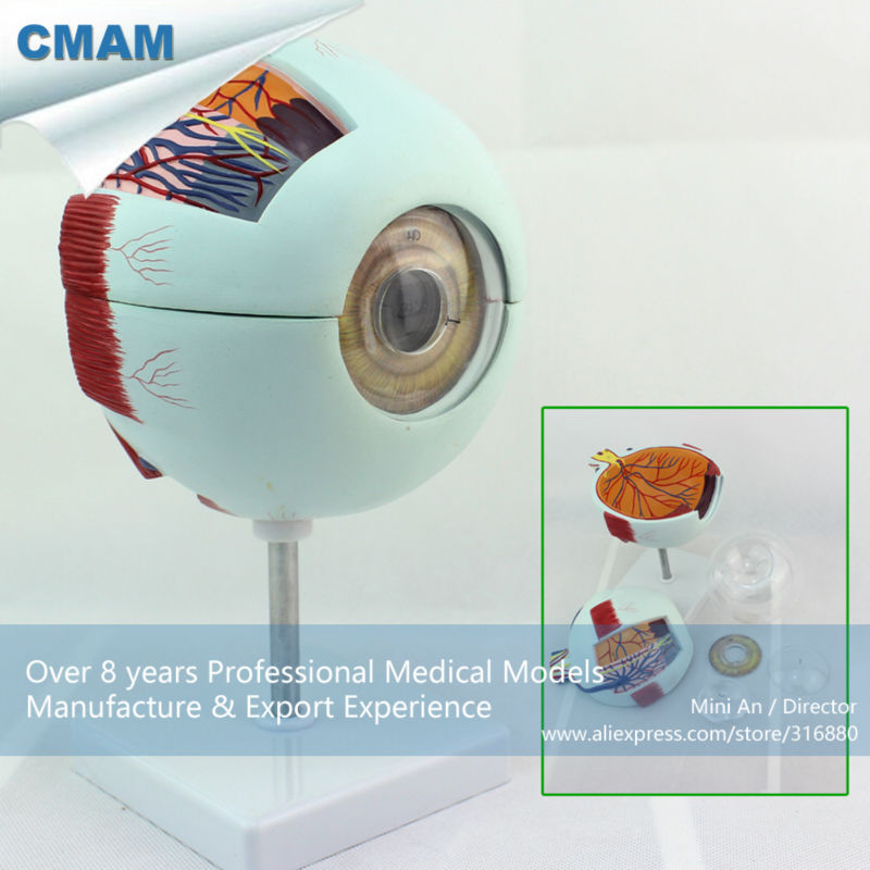 12525 CMAM-EYE01 Enlarge 6x Life-size Plastic Human Eye Model Anatomy in 6-parts for School Education