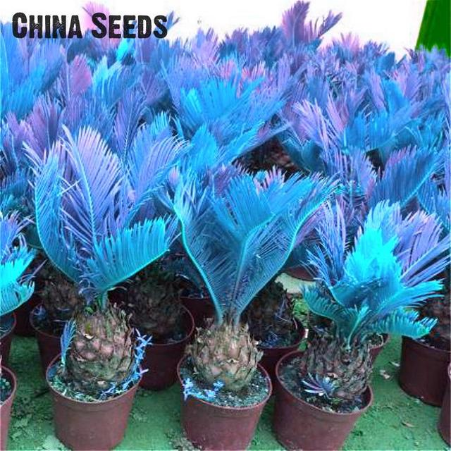 100 piezas Mini Sago azul Cycas bonsái Revoluta bonsái árbol Sementes en macetas Evergreen Diy planta para jardín casero Diy decoración