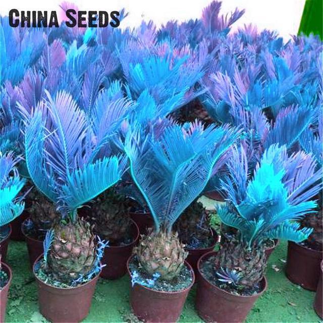 100pcs Mini Blue Sago Cycas bonsai Revoluta bonsai Bonsai Tree Sementes Potted Evergreen Diy Plant For Diy Home Garden Decoratio