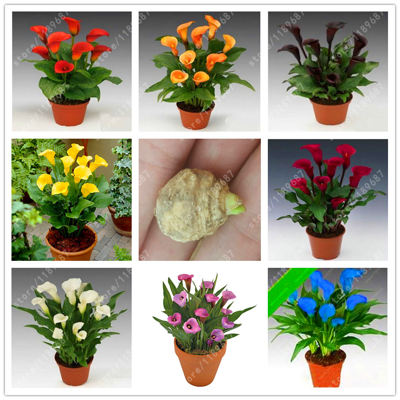 True calla lily bulbs , beautiful bonsai flower bulbs , Balcony plants calla bulbs Bulbous Root (not calla lily seed) - 2 bulbs