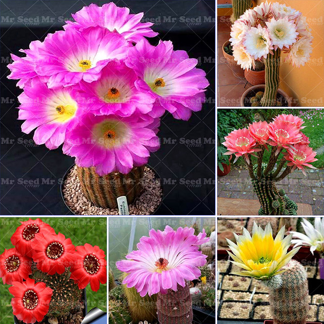 20PCS Bonsai Cactus Rebutia Variety Exotic Flowering Color Cacti ...