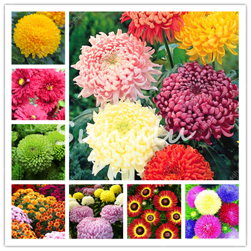 100 Pcs/Bag Ground-Cover Chrysanthemum Garden, Chinese Aster Perennial Bonsai Flower Flores Daisy Potted Plant For Home Garden