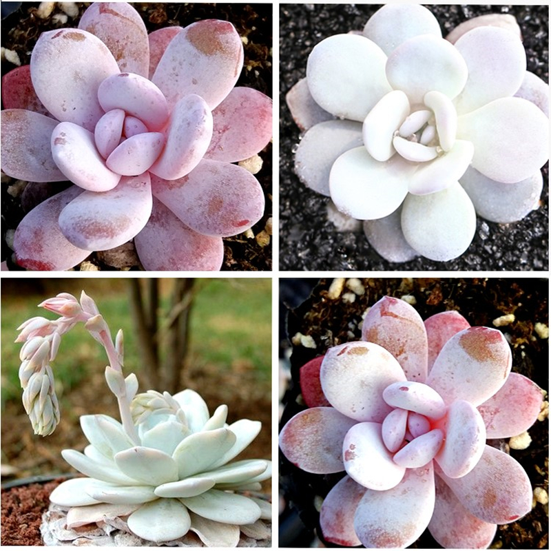 RANTON GARDEN Germany Mixed ECHEVERIA laui seeds 3 types Mixed Cactus Seeds 20pcs/pack Succulents Plants Bonsai Seeds