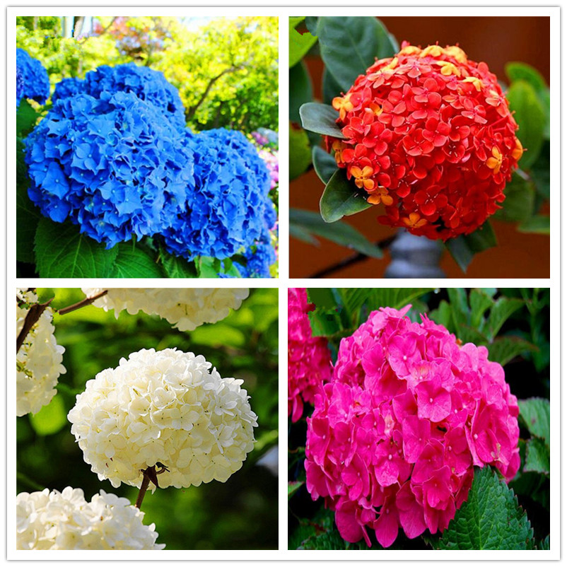 20pcs/bag Red Hydrangea Seed Mixed Hydrangea Flower seeds china hydrangea Bonsai Viburnum potted plant for home & garden
