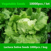 Easily Cultivated Lactuca Sativa Seeds 10000pcs, Annual Plant Leaf Vegetable Seeds, Often Used For Salads Lceberg Lettuce Seeds