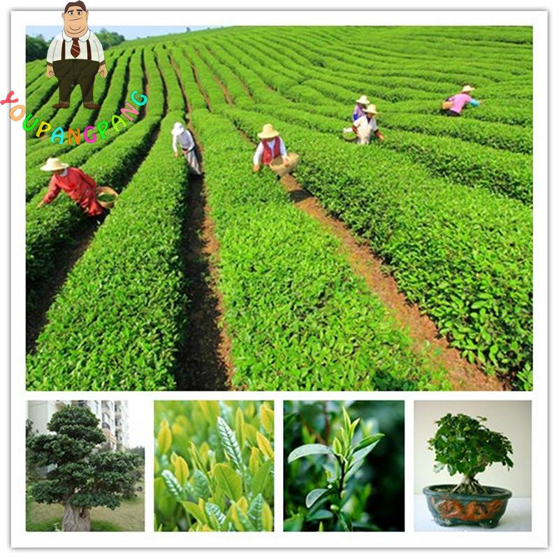 100pcs/lot Chinese Green Tea Tree Seeds Bonsai For Home Garden Perennial Plants No Flowers Heirloom Sementes Not Camellia Seeds