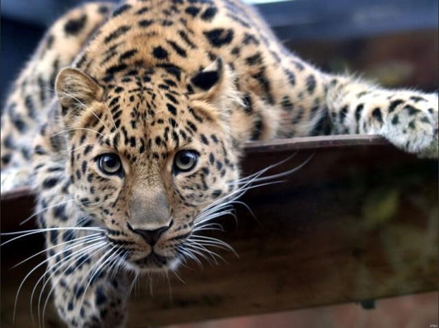jaguar wilde kat natuur dieren art enorme print poster txhome d7931