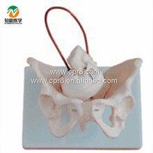 BIX-A1026 Female Pelvis Model With Fetal Skull, Midwifery Bone Model WBW295