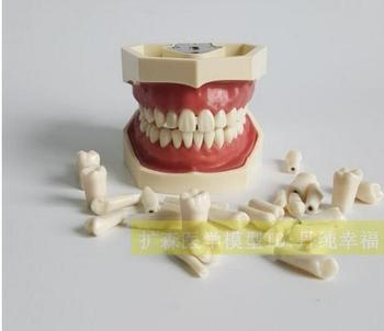 Dental Materials Alternate tooth Practice Model 32Stars simulation teeth free shipping