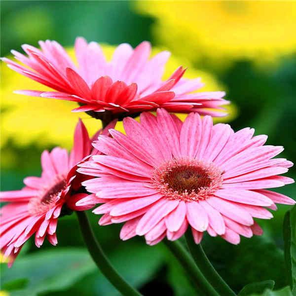 تخفيضات! قوس قزح أقحوان 100/حقيبة جميلة أقحوان بونساي زهرة النباتات الطبيعية ديكور حديقة المنزل شحن مجاني