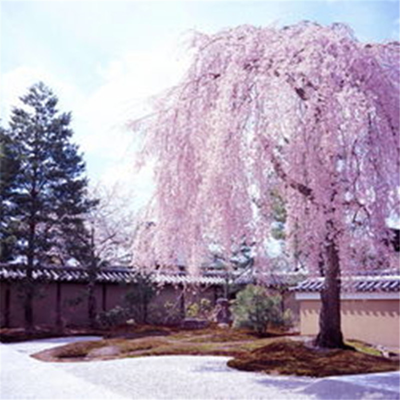 Pink fountain weeping cherry tree seeds,DIY Home Gard P